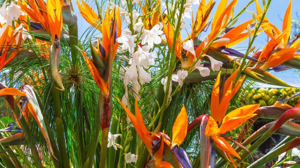 madeira botanical garden strelitzia